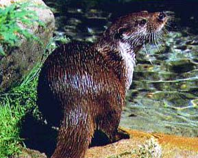 An otter by a riverbank.