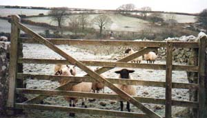 Sheep by a gate.